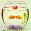 魚缸里的愛情主題 官方版